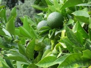 Not yet ripe orange in the monastery garden